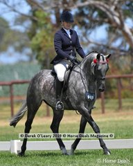 """""""Pemberton KGB"""" in the Open Small Saddle Hack, ridden and exhibited by Sally Lee Aumann"""