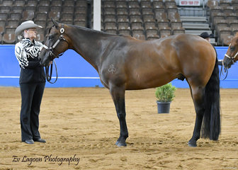 GILL ALLEN SHOWING SHADOWVALLEY TUXEDO IN THE QUARTER HORSE GELDING 4 YRS AND OVER CLASS