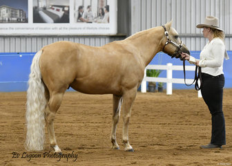 LISA COLEMAN SHOWING DUN UP IN HOLLYWOOD IN THE PAINT BRED STALLION 4 YRS AND OVER HALTER CLASS