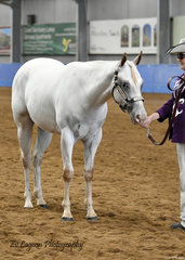 FRANCES ELLIOT SHOWING FMM SPECKTACULAR DESIRE IN THE APPALOOSA FILLY 2 YEARS AND UNDER HALTER CLASS