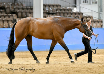 RAELENE GILBOY SHOWING AMPLEUR HOT TO TROT IN THE $50 OPEN HUNTER IN HAND STAKES