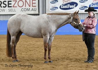 RDD LETS TALK ABOUT ME SHOWN BY LISA MCGUIRE IN THE QUARTER HORSE MARE 4 YEARS AND OVER HALTER CLASS