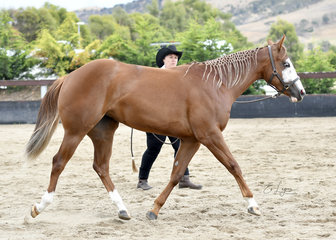 HOT N DREAMY DOLL SHOWN BY VERONIQUE WILLIAMS IN YEARLING LUNGELINE
