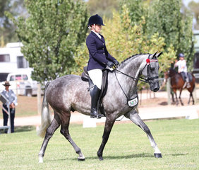 """""""Pemberton KGB"""" exhibited by Sally-Lee Auman pictured working out in the Preliminary Show Hack over 15hh class."""