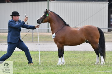 Anthony Mountney looks as if he is casting a spell over Helen Dohan's imported Welsh A stallion, 'Ceulan Masterpiece'. Magic was not needed as the typey little stallion was declared Champion Welsh A and took out the Woranora Stud and Welsh Pony and Cob Society Best Welsh In Hand award.