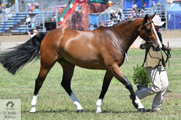 Reece Lawson is pictured on the run with Luke Dawes' nomination, 'J Star Hollywood' that was declared Champion Led Australian Stock Horse Gelding.