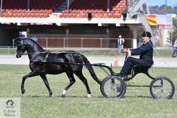 Andrew James drove his own and Corinne Collins' successful, 'Roseair Manikato' to win the class for Non Hackney Pony 10.2 AU 12.2hh. Yesterday they claimed the Non Hackney Pony Turnout Championship and today the Non Hackney Pony Championship.