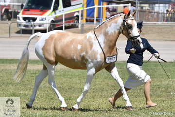 Natalie Ramsay took out the Pinto mare/Filly Championship with her, 'Zinthan Masquerade'.