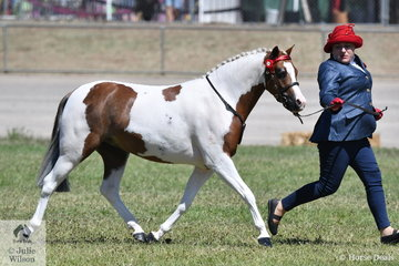 Jessica Tandy's, 'Tibooburra Treasure' won the class for Pinto Mare/Filly Under 14hh.