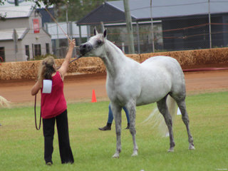 Fairview Special as Silver shown by Cathy Campbell