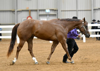 Champion Quarter Horse gelding, I'm Obviously Cool shown by Norm Barry