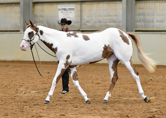 FB Miss Impulse shown in Yearling on the lunge by Ashleigh Giampaoli