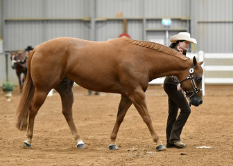 CP Sienna Sensation shown by Rebecca Kunze in the Amateur QH mare 4 years and over halter class