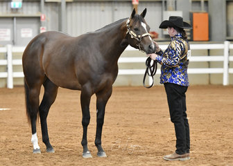 Glamorous To A Tee shown by Sharon Winter in the AQHA filly 2 years halter class