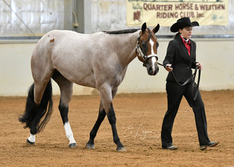Holly Wilkie showing About Last Night in the Quarter Horse gelding 2 years halter class