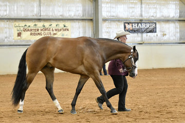 MQH Jack Da Ripper shown by Leeanne Attard in the Amateur Quarter Horse gelding under 2 years halter class