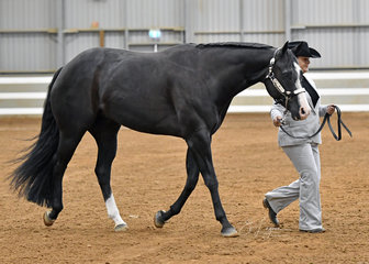TPL Gravitation,Paint bred gelding 4 years and over, shown by Angy Lindblom