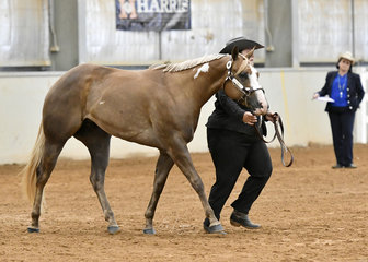 SC She Intimidates Me shown by Belinda Neilson in the Paint filly 3 years and under halter class