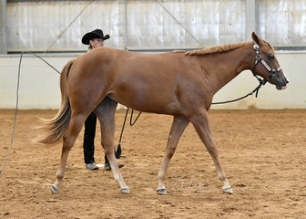 Yearling Lunge Line winner, Clairveaux No Doubt shown by Pam Jones