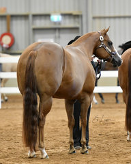 Champion Quarter Horse mare, Redesigned, shown by Samantha Nelson