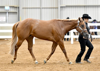 Kerry Rollins showing Shadowvalleys Ice Cold Kiss in the Quarter Horse mare 4 Years and Over Halter class.