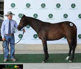 This one year old filly, owned by Mr T Palmer from Coolah, NSW, sold for $7000 at the Fountain of Youth Yearling Sales at the 2019 Australian Stock Horse National Show.