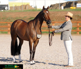 Looking very smart in the Led Phase of the 2019 Australian Stock Horse National Futurity Challenege was Maryanne Gough and Topshelf New York.