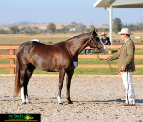 Standing up and presenting to the judge in the Led Phase of the National Futurity Series at the 2019 Australian Stock Horse National Show is combination Nathan Cusack and Copenhagen Fancy.
