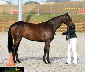 After travelling from Bathurst, Sarah Malcolm and her 2 year old mare, Topshelf Envy competed in the Snaffle Bit Futurity at the beautiful equestrian centre in Tamworth.