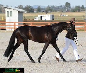 Stepping out in the Snaffle Bit Futurity was Castles Techno with handler, Alexandra Hamblin on the seventh day of competition at the 2019 Australian Stock Horse National Show.