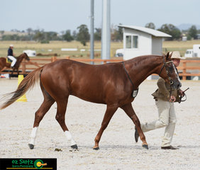 A colt with a presence - Indianas Destiny Dot Com led by Queensland based Scott Heidke in the Snafflebit Futurity at the 2019 Australian Stock Horse Nationals.
