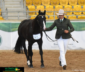 Catching the eye of the Judge Paul Vary, Secretheart Hitman and Sharleen Flanagan trot their way to claim the Champion title of the 3 Year Old Led at the 2019 Australian Stock Horse National show.
