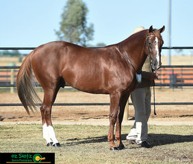 Getting ready for the Led 2 Year Old Colt class was entry 401, Indianas Destiny Dot Com with handler, Scott Heidke at the 2019 Australian Stock National Show..