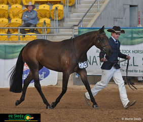 Paraded beautifully in the 2 Year Old Fountain Of Youth Led class, Doublehaich Diamonds was led by Blake Paulson.