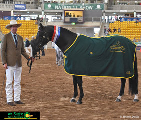 Champion Senior Led Stallion went to Quiera Casanova led by Cole Moxey on one of the last days of the 2019 Australian Stock Horse Nationals.