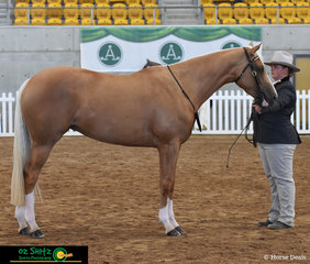 Displaying her beautiful Secretheart Bling It On is Natasha Brown in the 4 Year Old Mare class at the National Australian Stock Horse Show.