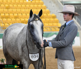 A distinguished looking duo - Brad Daunt leading Notus Powermax in the Gelding 4 year Old Class at the National Stock Horse Show held in Tamworth.
