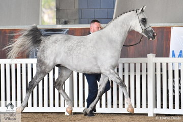 Allegiant MI, nominated by Reality Arabians and Future Farms was awarded Champion Arabian Led Gelding NPTH.