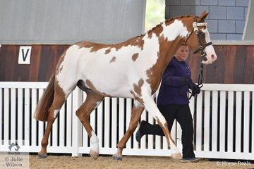 Leanne Lawrance's, Sienna Abstract Art took out the Gold Championship in the Arabian Stockhorse Led Exhibit.
