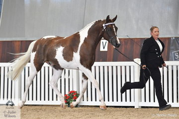 Marie and Robert Hutchison's, Forest Dale Dressed in the Dark took out the Silver Champion in the Quarab Led class.