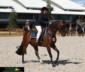 The Novice Hack Gelding 5 Years and Over exc 15hh was a competitve class, pictured is Kym Fizzell and fernbrook Playwright on the circle at the beginning of the class.