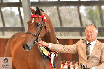 David Buist and John Findlay's, 'Gleneagles Lucia' (Warrawee Deecor/Josephine) took out the Arabian Warmblood Breeding Exhibit Silver Championship.