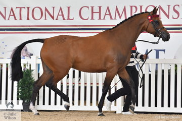 Geoff Hawkings' filly, 'Burberry' (Warrawee Versacee/Bracknell Dinly's Delight) was declared Partbred Arabian was declared Partbred Arabian Junior Filly/Colt Bronze Champion.
