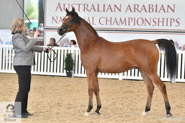Jayne Bellchambers claimed the Purebred Arabian Yearling Gelding Bronze Championship with Tania Evans', 'Maxim's De Spaa' (Maximilliano/Amore Stefanique).
