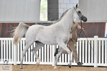 Vicki Salter's, 'Kasper MI' (Klass/Chance To Dance) was declared Purebred Arabian Junior Gelding Gold Champion.