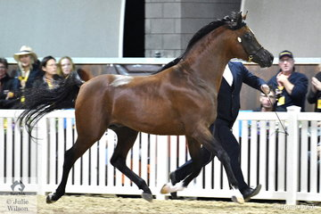 The Kathmar Park nomination, 'Mystica Marakhan' (Maharaja HDM/Shakla's Silver Dream) was declared Bronze Champion Purebred Arabian Senior Stallion.