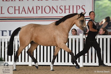 Belinda Wynne's, 'Yehhaa Comfortably Numb' is pictured putting his best foot forward during the class for Half Arabian Junior Gelding Three Years and Under.