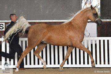 Colleen Brouns' gelding, 'Light It Up' (Ray of Light/Porsha) was declared Gold Champion Half Arabian Exhibit.