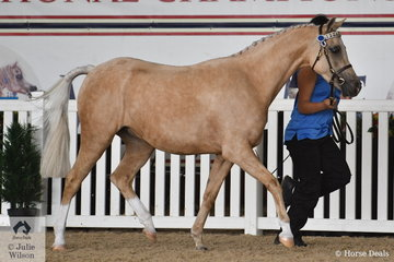 Maria and Frank Daraio's nomination, 'Dara Park Royal Gold' (Dara Park Kings Ransome/DP Enchanting) was declared Bronze Champion Arabian Riding Pony Led Junior Gelding.