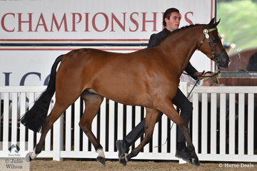 Cody Dertell did the honours with Ron Campbell and the Future Farms nomination, 'Kizashi' (CraveFF/Sia-Nara) to claim the Arabian Riding Pony Led Senior Gelding Gold Championship.